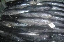 Frozen Whole Round Bonito Tuna Fish 1000g up for Sale /BEST PRICES