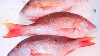 IQF Red Snapper Whole Fish/ Round Red snapper fish