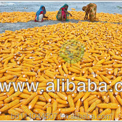 Dried Yellow Maize, Yellow Corn for Animal Feed, NON GMO-GENETICALLY MODIFIED FEEDING ANIMALS