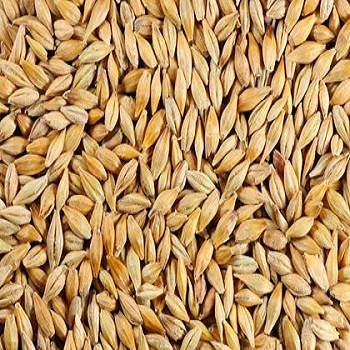 %100 Top Quality Barley Seeds For Animal Feed