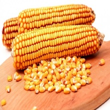 Animal Feed Yellow Corn in bulk
