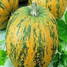 Bangladeshi Pure and Natural Wholesale Pumpkin/Fresh Pumpkin