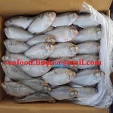 Frozen Hilsha fish/Dotted gizzard shad new landing /seafood(dot)linda(at)gmail(dot)com/ (Whatsapp, Viber): +84 989322607