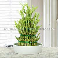 lucky bamboo three stage with jar
