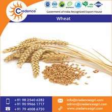 Non-GMO Wheat for Human Consumption
