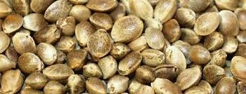 Bulk 99% Pure raw HEMP SEEDS