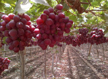 Red globe grapes seedless