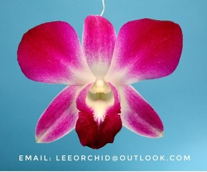 Wholesale Fresh Dendrobium Sonia Thai Orchid Cut Flower from farm- Premium quality @ Best price Try us!!