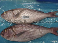 Frozen White Snapper at Best Price