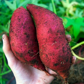 HIGH QUALITY FRESH JAPANESE SWEET POTATO PRICE $0.9260 PER KG