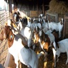 live sheep ,live lamb, & Live Goats , & cattle ( steers and cows), calf ( young ) , live buffalo