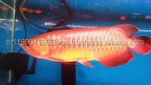 Arowana Fishes in Gold, Platinum , Red and Blue Asian Red Arowana Fish from Thailand