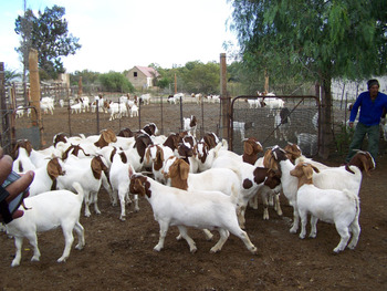 100% Full Blood Boer Goats and Pregnant Holstein Heifers