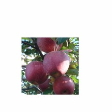 Sweet and delicious wholesale cheap price for red fuji fresh apple from South Africa