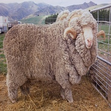 Low Price Very Healthy mutton merino Sheeps for sale
