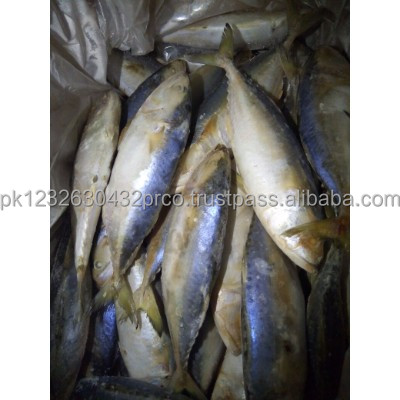 Selling to China market Frozen Indian Mackerel Fish
