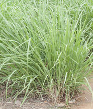 Lemon Grass Essential Oil India