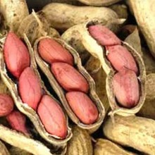 High quality west african peanut ground nut in shell
