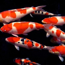 Exported good quality Japanese Koi Fish