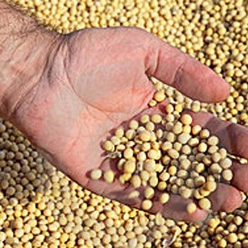 wholesale best quality Soybeans for sale at good price