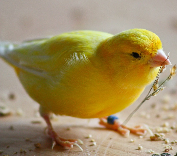 Live Birds Yorkshire Canary birds, Finches, Lovebirds, Lancashire Canary