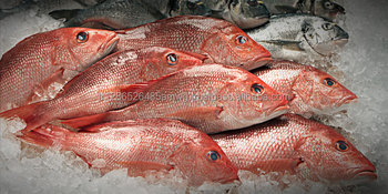 IQF frozen red snapper fish/Premium quality red snapper fish/Frozen Red Snapper Fish competitive price