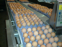 Fresh Table Chicken Eggs ( Brown and White)WHITE AND BROWN FRESH TABLE EGGS, HATCHING EGGS Price