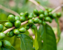 100% ORGANIC GREEN COFFEE BEANS FROM ONE OF THE LARGEST PRODUCER OF INDIA