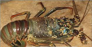 live spiny bamboo green lobster