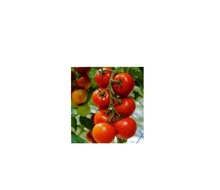 Top Class Fresh cherry and Plum Tomatoes