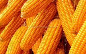 Grade Yellow Corn / Yellow Maize / Yellow Corn Grains for sale