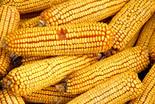 Wholesale Dry Yellow Corn For Animal Feed