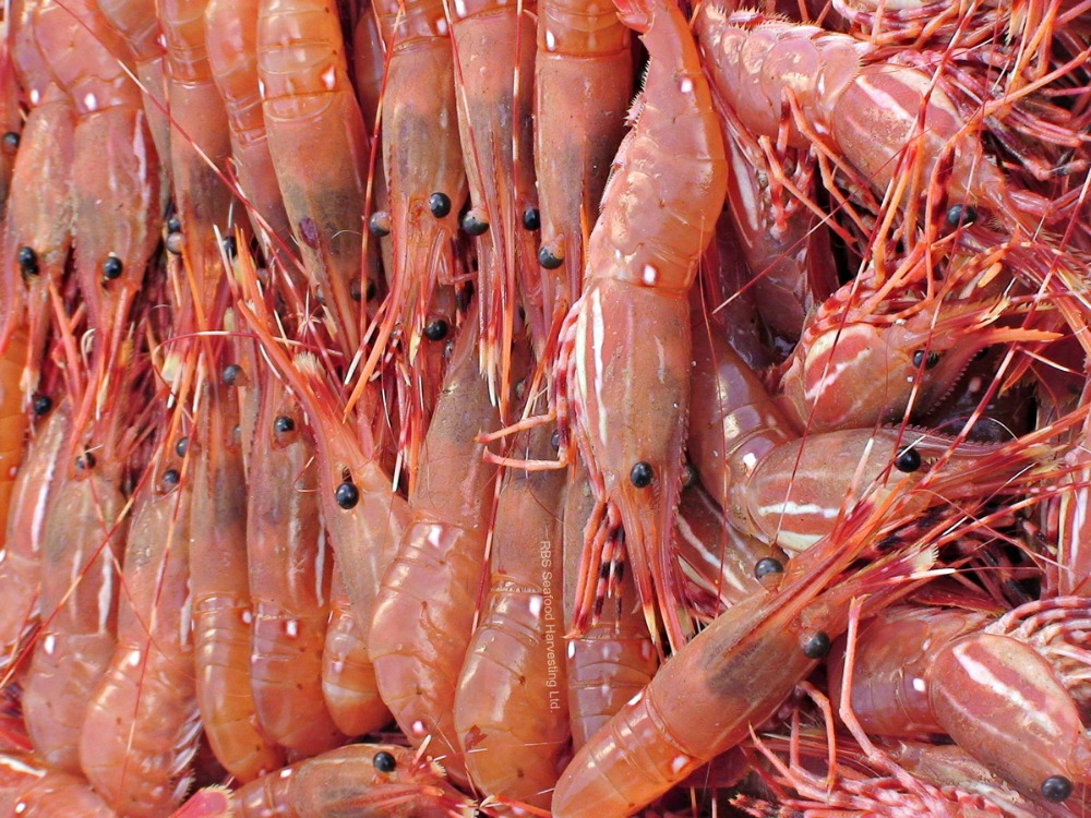 White and red frozen shrimp