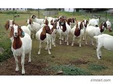 Full Blood Boer Goats, Live Sheep, Cattle, Lambs and Cows