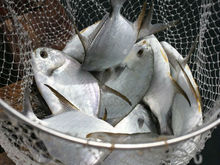 Quality Fresh White Silver Pomfret Fish at Affordable Prices