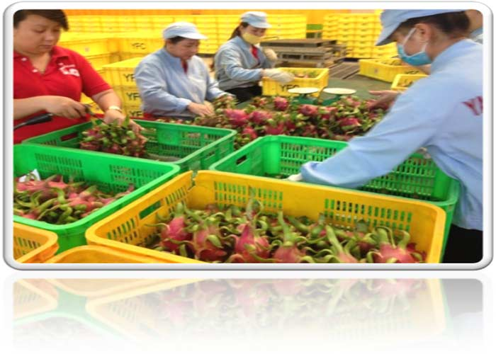 SUPPLIER (thebestfoods.vn) OFFER ORGANIC FRESH RED PITAHAYA/DRAGON FRUIT PREMIUM QUALITY