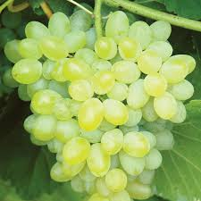 THE BEST Sweet and high quality Grapes