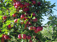 2016 new fresh gala apples fresh red apples