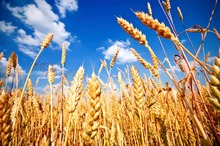 canadian wheat grains