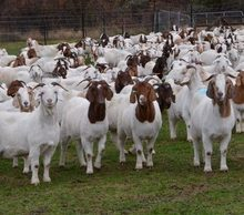 Contact Supplier  Leave Messages Agriculture Animal Products Livestock Alive Boer Goat/Saanen Goat