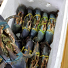 Best selling Fresh Live - Mud crab