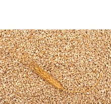 High Quality Wheat Grain For Both Feed And Human Consumption