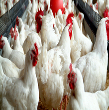 LIVE CHICKENS FOR SALE R50 EACH/ 10 OR MORE CHICKENS