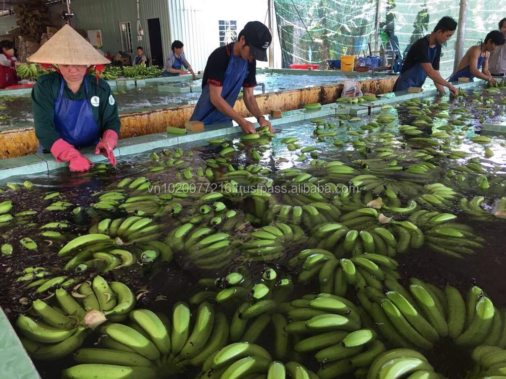 Fresh green banana from Hoang Kim VIet Nam