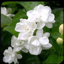 Jasmine 100% Pure and Natural Essential Oil