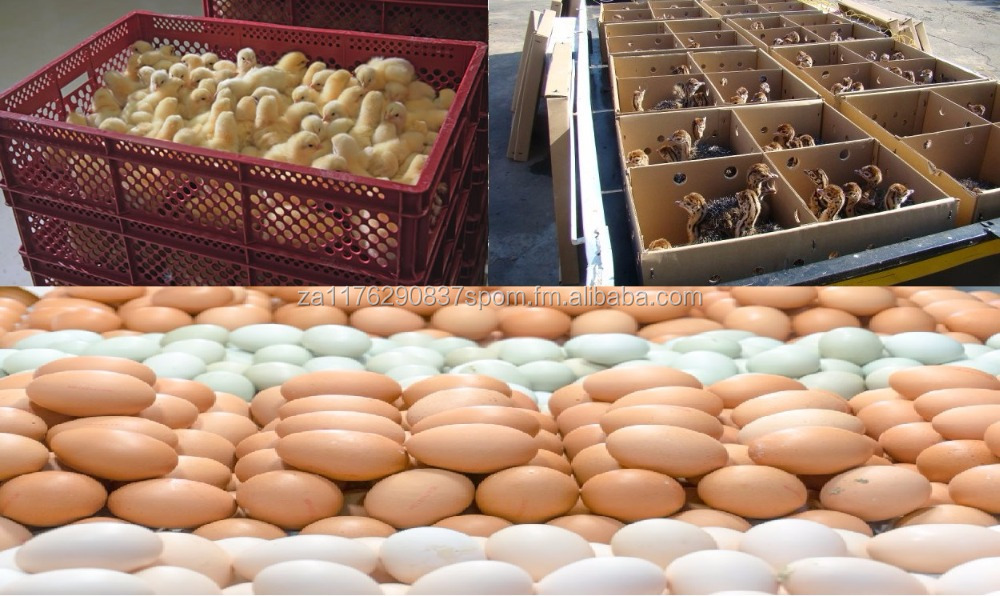 Day Old Chicken Broiler, Ostrich Chicks, Fresh Table Eggs, Hatchery Eggs, Egg Incubator