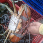 Live MUD CRAB Whole Round From INDONESIA