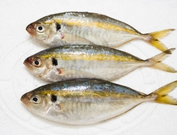 Yellow stripe trevally fish with high quality 2017