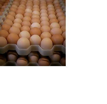 Fresh Holland Eggs
