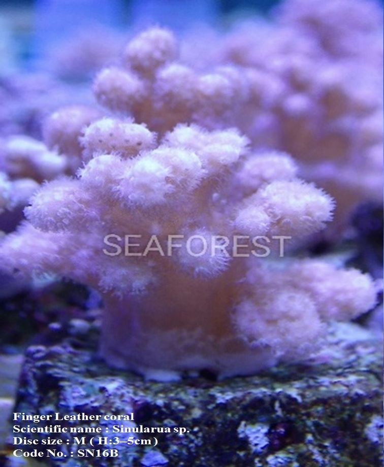 Malaysia Live Soft Finger Leather Coral for Aquarium Decoration
